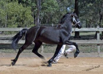 friesian horse star stable dressage