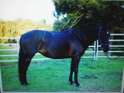 Spanish Cob Horse